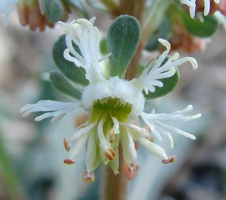 Reseda phyteuma L. par Paul Fabre
