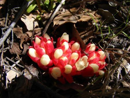 Cytinet rouge - Cytinus hypocistis subsp. clusii Nyman par Paul Fabre
