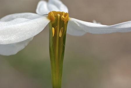 Narcisse d'automne - Narcissus serotinus L., par Pierre SEBA