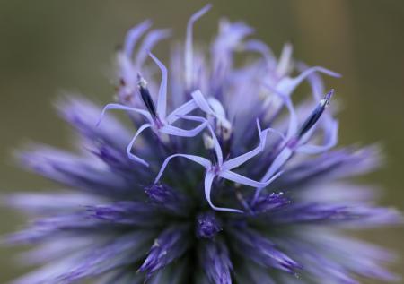 Azurite - Echinops ritro L., par Isabelle DE BATTISTI