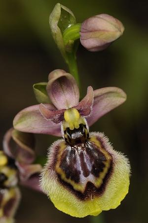 hybride Ophrys neglecta X O. speculum, par Laurent BERGER