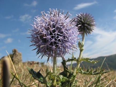 Oursin bleu - Echinops ritro L., par Annick LARBOUILLAT