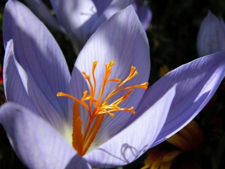 Crocus à fleurs nues - Crocus nudiflorus Sm., par Liliane PESSOTTO