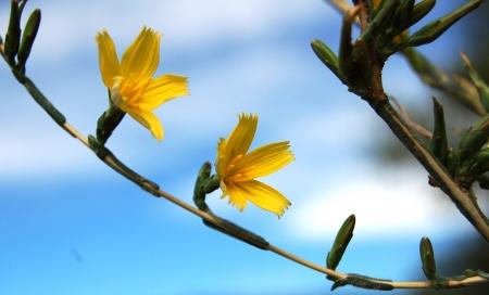 Laitue effilée - Lactuca viminea (L.) J.Presl & C.Presl, par Virginie PONS