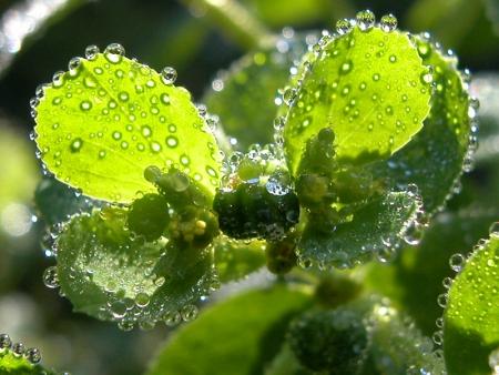 Euphorbe réveille-matin - Euphorbia helioscopia L., par Marie-France PACAUD