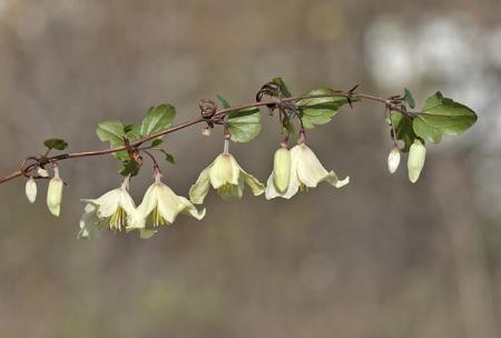 Clématite à vrilles - Clematis cirrhosa L., par Pierre SEBA