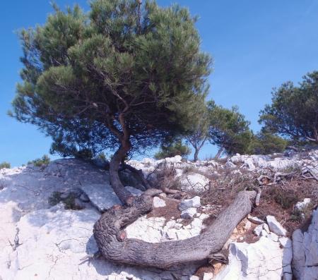 Pin d'Alep - Pinus halepensis Mill. par Genevieve BOTTI