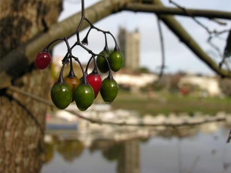 Morelle douce-amère - Solanum dulcamara L., par Marie-France PACAUD