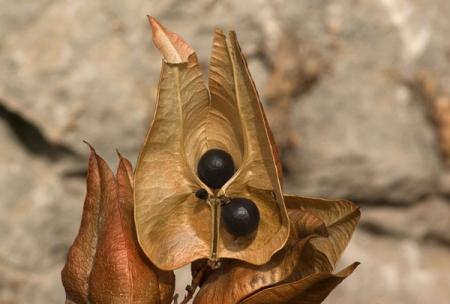 Koelreuteria paniculata Laxm., par Pierre SEBA