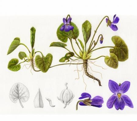 Violette odorante - Viola odorata L., par Valérie ROLLAND