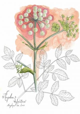 Angélique des bois - Angelica sylvestris L., par Grelinette