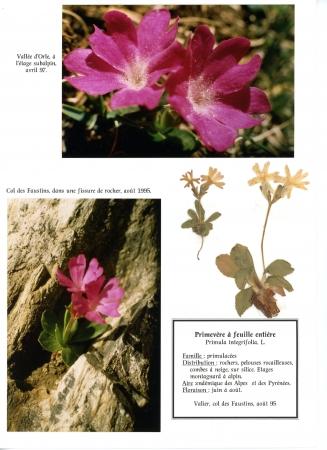 Primevère à feuilles entières - Primula integrifolia L., par Liliane PESSOTTO