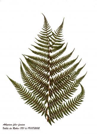 Polypode femelle - Athyrium filix-femina (L.) Roth, par Henri MATHÉ