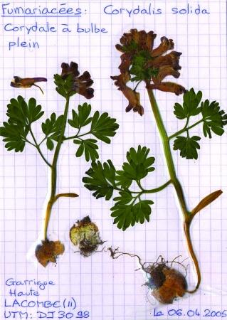Corydale à bulbe plein - Corydalis solida (L.) Clairv., par Christophe BERNIER