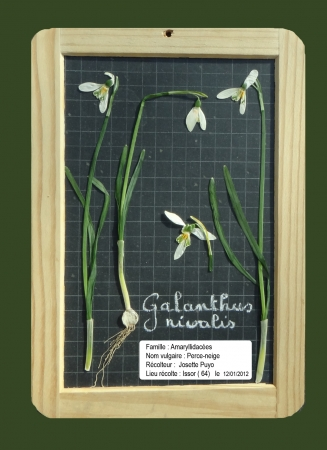 Perce-neige - Galanthus nivalis L., par Josette PUYO