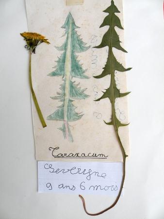 Pissenlit - Taraxacum campylodes G.E.Haglund, par Jean-Patrice MATYZIAK