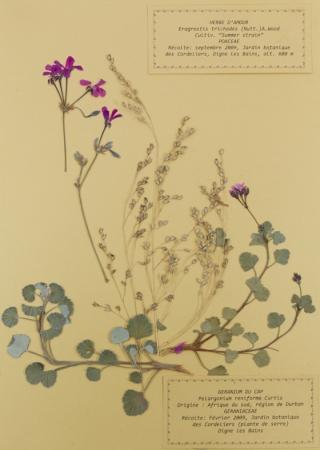 Geranium - Pelargonium reniforme curtis, par Sébastien CUGNEZ