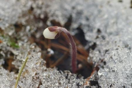 Hépatique noble - Hepatica nobilis Schreb. [nn31594] par Sylvie CARBONNET