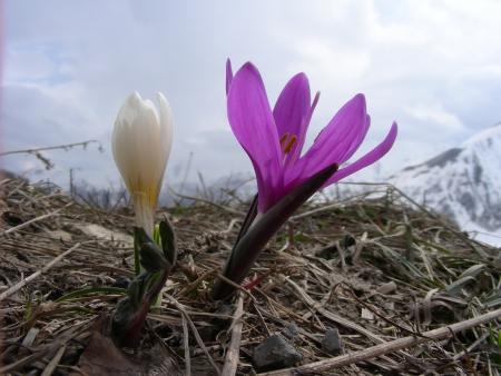 Bulbocode de printemps - Bulbocodium vernum L., par Michel DÉMARES