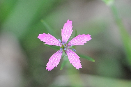 Oeillet arméria - Dianthus armeria L., par Valérie BRUNEAU-QUEREY