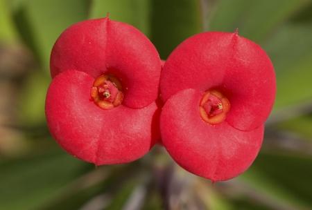 Euphorbia milii Des Moulins, par Pierre SEBA
