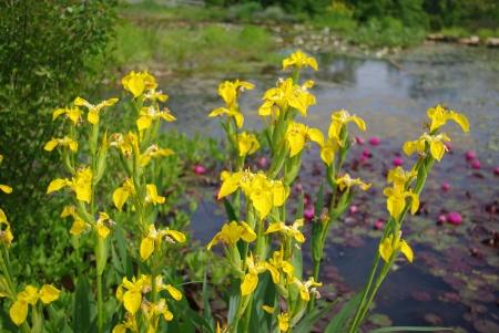 Iris des marais - Iris pseudacorus L. Par Gisèle ARLIGUIE
