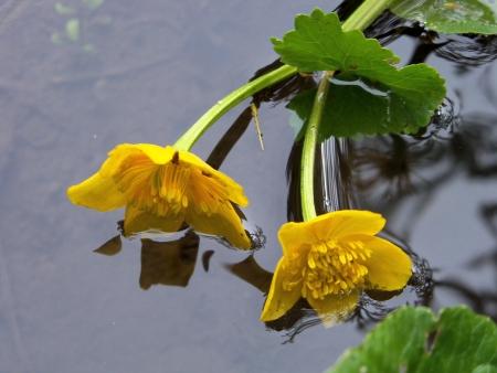 Caltha des marais - Caltha palustris L. Par V. Favier