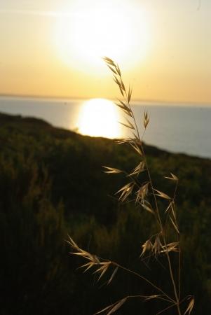 Avoine cultivée - Avena sativa L. - Par Gisèle ARLIGUIE