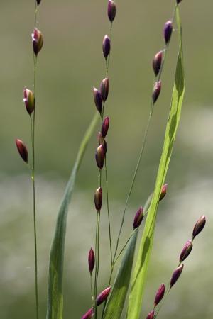 Mélique à une fleur - Melica uniflora Retz Par Olivier NAWROT