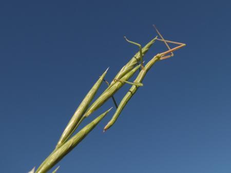 Brachypode de Phénicie - Brachypodium phoenicoides (L.) Roem. & Schult. Par Matthieu GAUVAIN