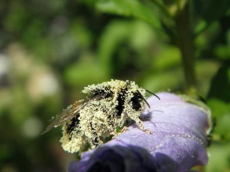 Guimauve officinale - Althaea officinalis L. une abeille domestique Par Guylaine FERRIÈRE