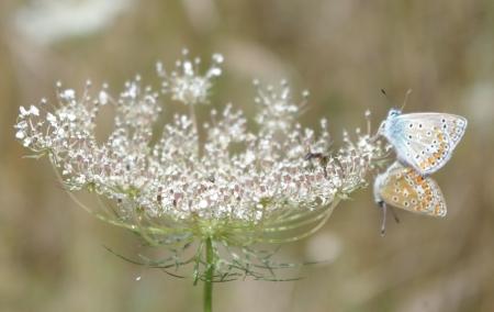 Carotte sauvage - Daucus carota L. subsp. carota et un Argus Bleu - Polyommatus icarus Par Gisèle ARLIGUIE