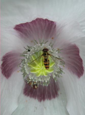 Pavot officinal  - Papaver somniferum L. et un Syrphe ceinturé - Episyrphus balteatus Par Annick LARBOUILLAT
