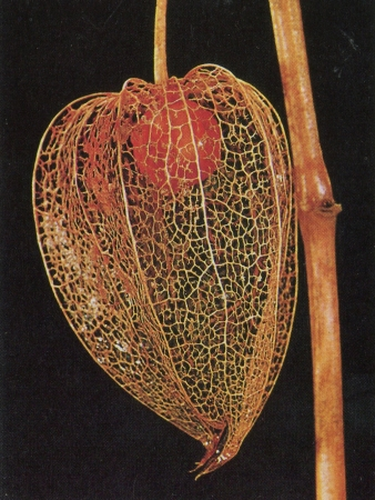 Coqueret alkékenge - Physalis alkekengi L. par Liliane ROUBAUDI