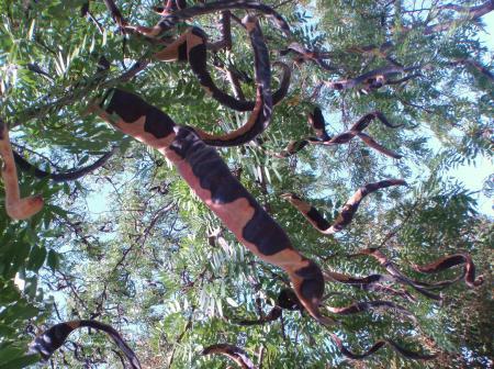Gleditsia triacanthos var. inermis (L.) Castigl. par Genevieve BOTTI