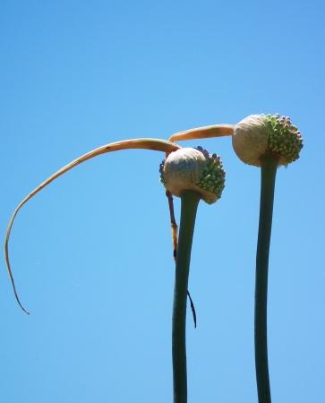 Ail des îles - Allium commutatum Guss. par Patrice BONNEL