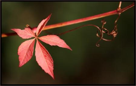 Vigne-vierge - Parthenocissus quinquefolia (L.) Planch. par Catherine LENNE