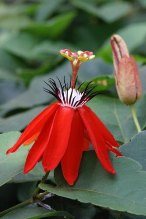Passiflora miniata par Marie CHAMPAGNE