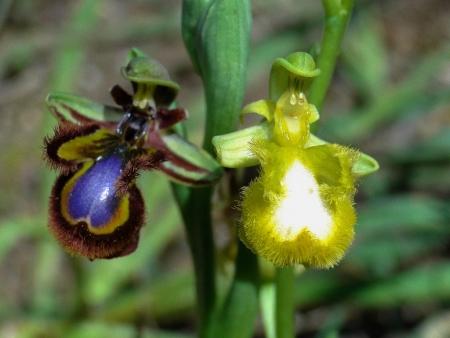 Ophrys miroir - Ophrys speculum Link par Josette PUYO
