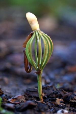 Pin parasol - Pinus pinea L. par Liliane ROUBAUDI