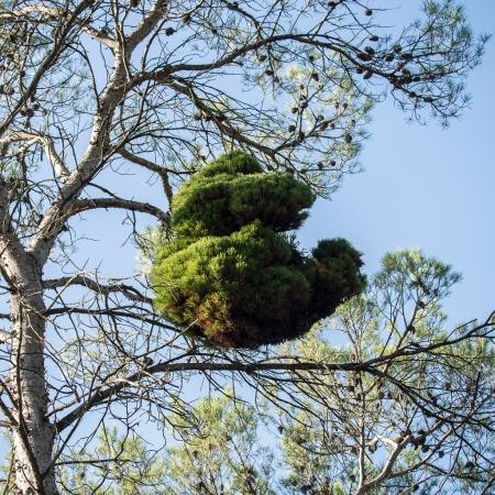 Pin d'Alep - Pinus halepensis Mill. par Denis NESPOULOUS