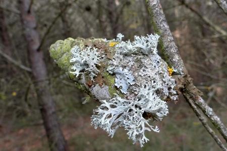 Lichens sur pomme de pin par Josette PUYO