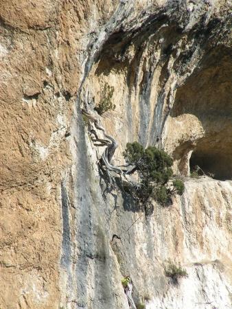 Genévrier de Phénicie - Juniperus phoenicea L. par Jean-Paul MANDIN