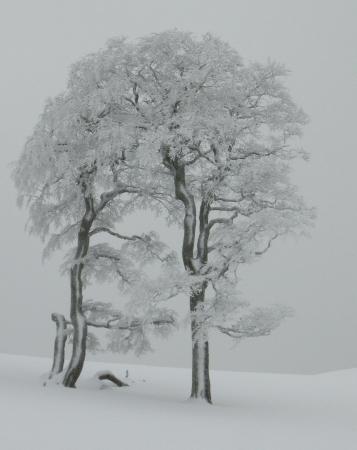 Hêtre commun - Fagus sylvatica L. par Laurence GOURDEL
