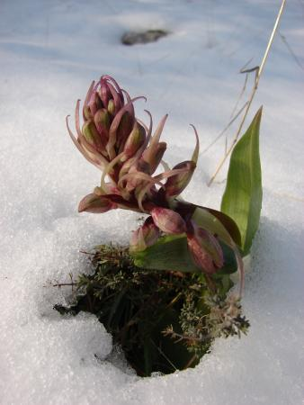 Orchis à longues bractées - Himantoglossum robertianum (Loisel.) P.Delforge par Paul Fabre
