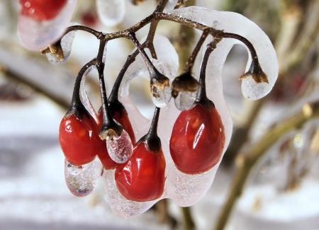 Morelle douce-amère - Solanum dulcamara L. par Liliane PESSOTTO