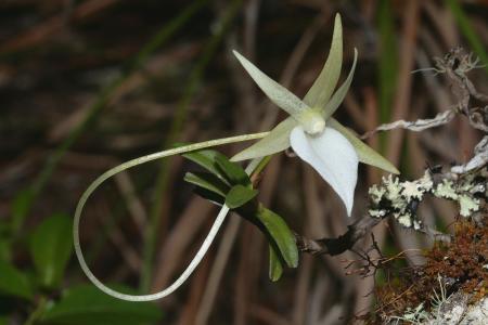 Angraecum dryadum Schltr. par Pascal JARIGE
