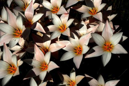 Tulipa clusiana DC. par Jean-Landry NICOLAS