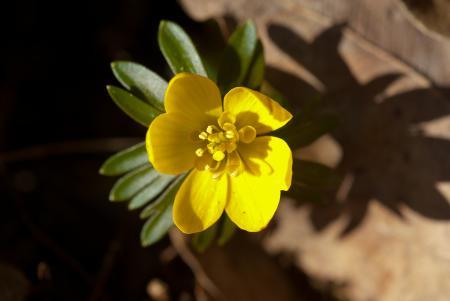 Eranthis hyemalis (L.) Salisb. par Roland LAUNAY