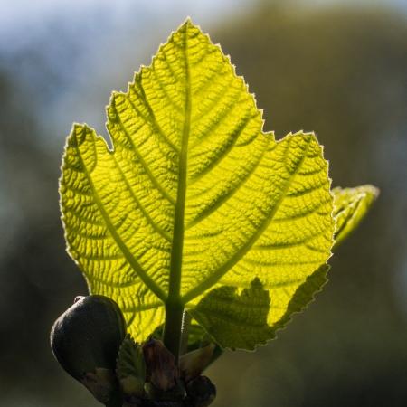 Ficus carica L. par Denis NESPOULOUS